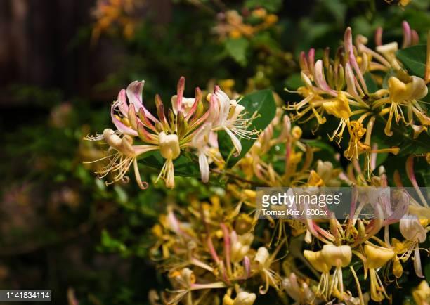 Flowers Lonicera
