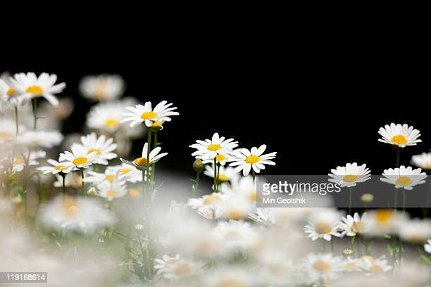 Flowers, Marguerite