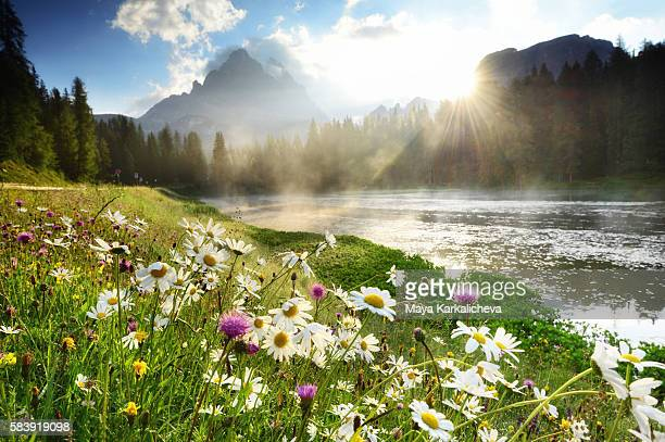 flowers near lago di antorno, dolomites - ベッルーノ ストックフォトと画像