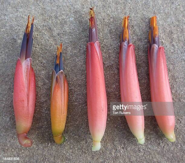 flowers of aloe sp. ribaue - nampula province stock pictures, royalty-free photos & images