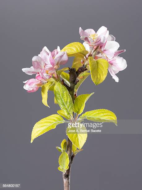 Flowers of apple tree.