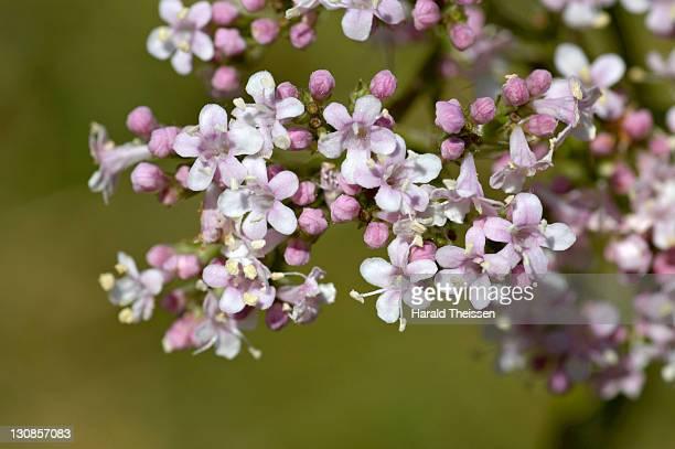 flowers of blooming valerian Valeriána officinalis