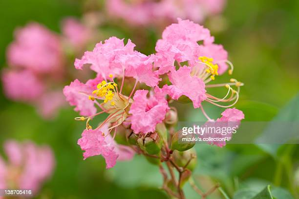 flowers of crape myrtle - crepe myrtle tree stock pictures, royalty-free photos & images