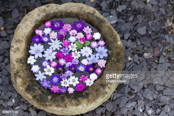 Flowers of Hepaticas floating in water in a bowl.
