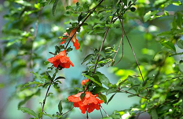 flowers of pomegranate/nagpur - pomegranate tree stock photos and pictures