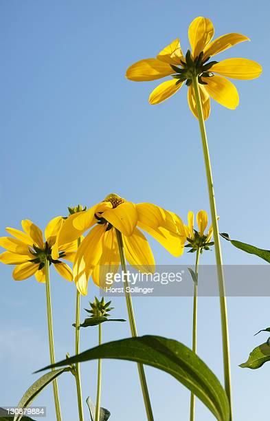Flowers of rudbeckia nitida, Asteraceae