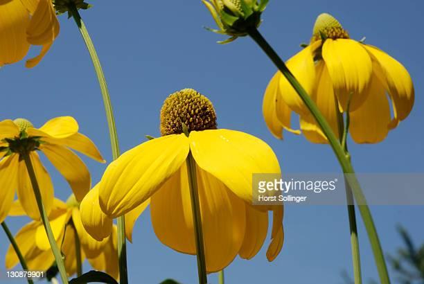 Flowers of rudbeckia nitida, Astereaceae