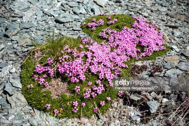 flowers of silene acaulis - italia stockfoto's en -beelden