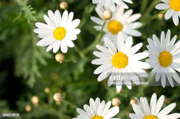 flowers of tanacetum cinerariifolium - tansy stock pictures, royalty-free photos & images