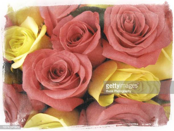 flowers of the seasons: pink and yellow roses - may december romance fotografías e imágenes de stock