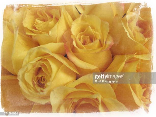 flowers of the seasons: yellow roses - may december romance fotografías e imágenes de stock