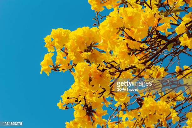 Flowers of the yellow Ipe. It is a species of tree of the genus Handroanthus, reaching 30 meters in height.