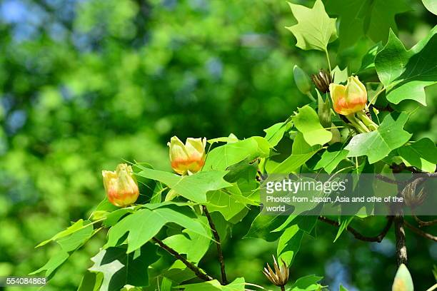 flowers of tulip tree (liriodendron tulipifera) - tulip tree stock photos and pictures