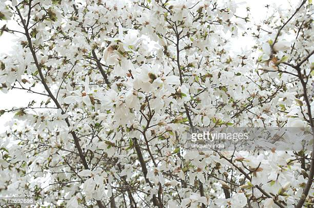 Flowers on a almond tree, Srinagar, Jammu And Kashmir, India