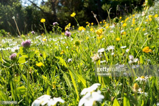 flowers on a summer meadow - wiese stock-fotos und bilder