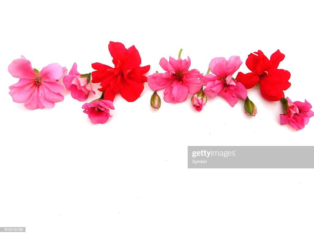 Blumen auf weißem Hintergrund  : Stock-Foto