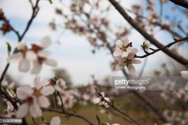 flowers on almond tree - almond orchard stock photos and pictures