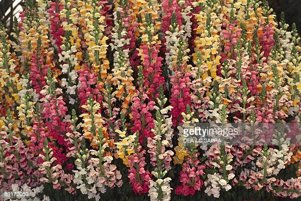Flowers on snapdragon plant