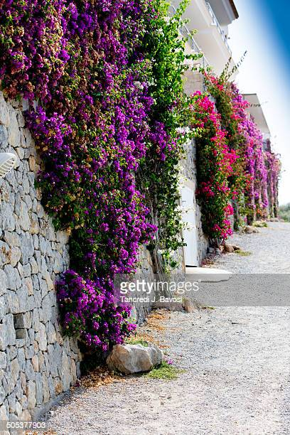 flowers on wall - bavosi stock photos and pictures