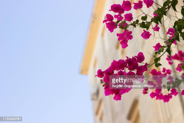 flowers - bogdanovic bogdan stock photos and pictures