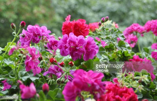 flowers - geranium stock pictures, royalty-free photos & images