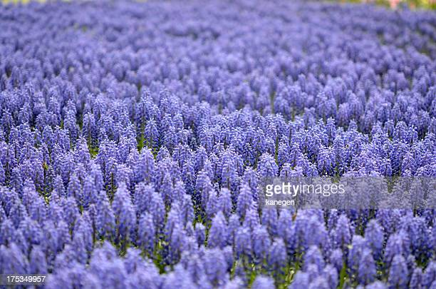 flowers - grape hyacinth stock pictures, royalty-free photos & images