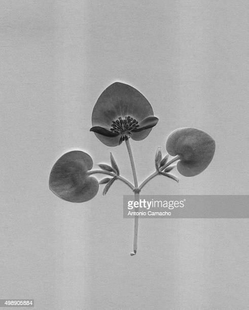 flowers - blanco y negro stock pictures, royalty-free photos & images