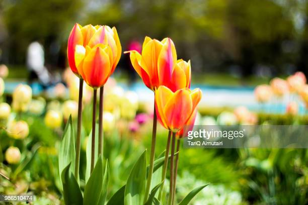 flowers - tari stock pictures, royalty-free photos & images