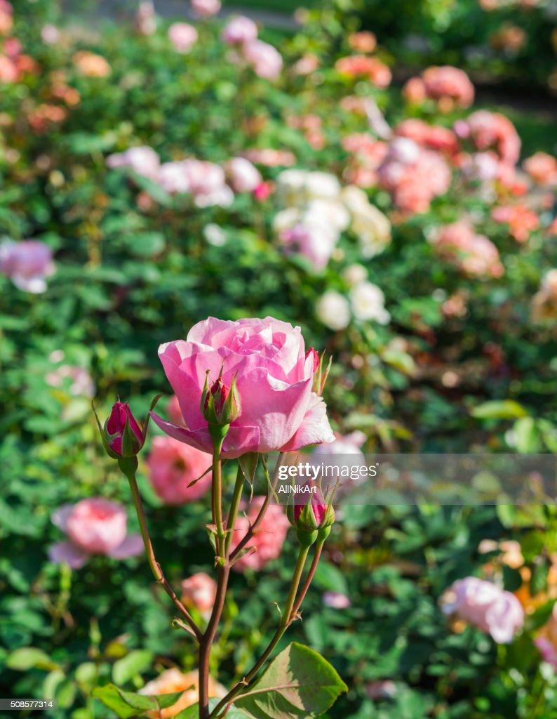 Flowers. Pink Roses in garden : Bildbanksbilder