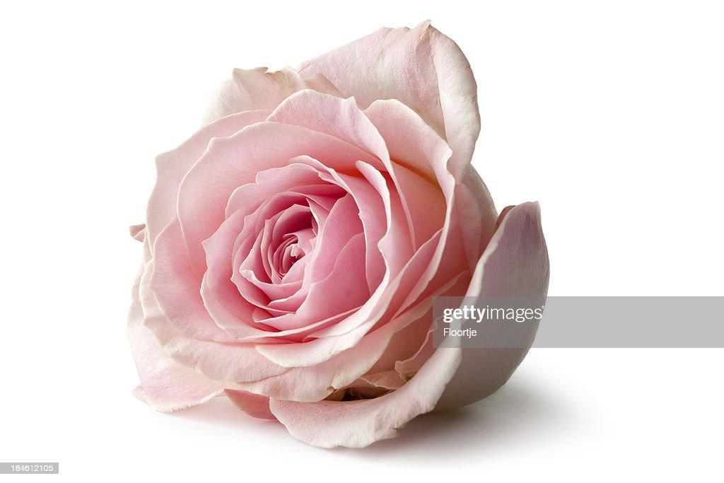 Blumen: Rose : Stock-Foto