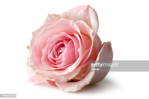flowers: rose isolated on white background - pink flowers stock pictures, royalty-free photos & images