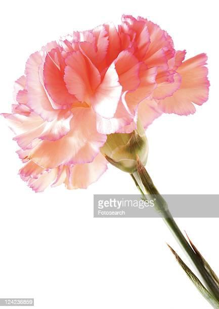 Flowers, Spring, Tulip, Flower Head, Open, Petal, Single Flower