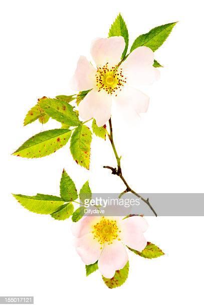 Stielgrün mit Blumen und Blätter der Dog Rose Rosa Canina
