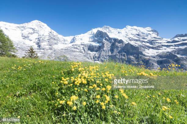 Flowers surrounded by snowy peaks Wengernalp Switzerland
