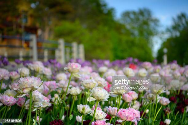 flowers, tulip festival - cravo cravo da china imagens e fotografias de stock