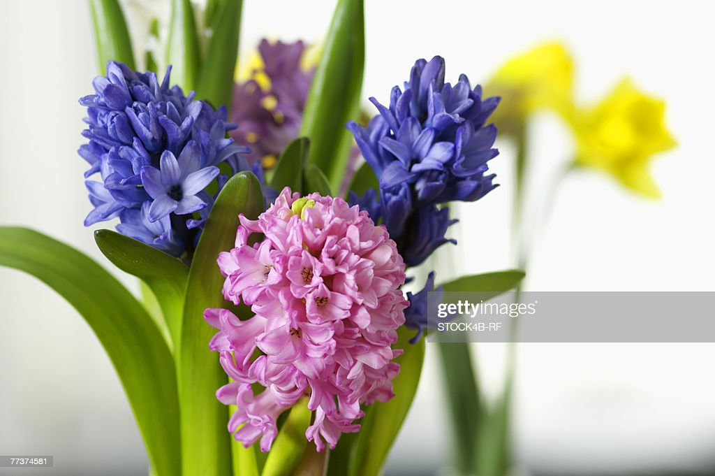 Flowers with multicolored blossoms, close-up, selective focus : Photo