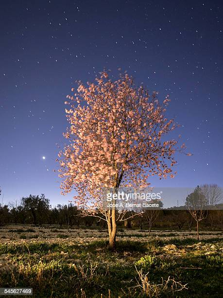 Flowery almond-tree one spring night