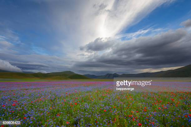 flowery fields - castelluccio stock photos and pictures