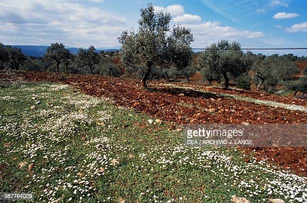 Flowery meadow and trees near Skala, Mani peninsula, Peloponnese, Greece.