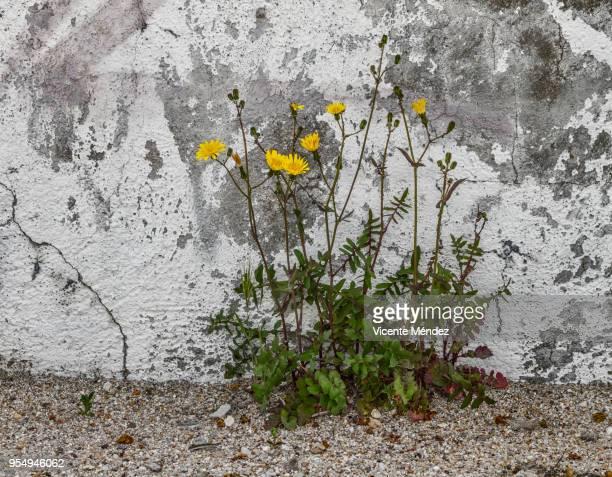 Flowery plant on the sidewalk