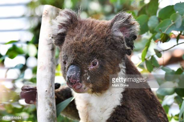 Floyd one of the first rescued Koalas from the Cudlee Creek fires recovering in the outside pen at Paradise Primary school where Adelaide Koala...