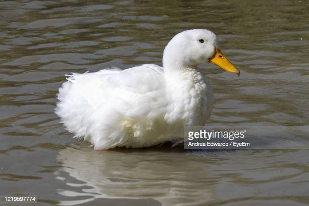 fluffed up pekin duck, also know as aylesbury or long island ducks - pekin duck stock pictures, royalty-free photos & images