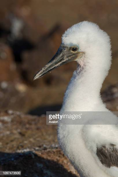 A fluffy bluefooted booby chick about 2 months old at Point Cormorant of Floreana Island in the Galapagos National Park Galapagos Islands Ecuador