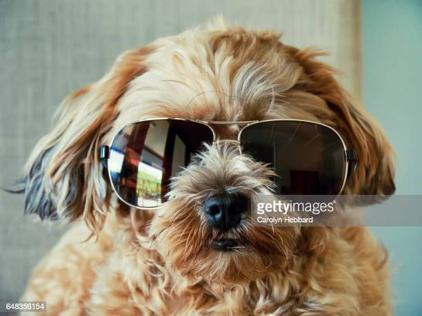 Fluffy Cute Dog Wearing Sunglasses