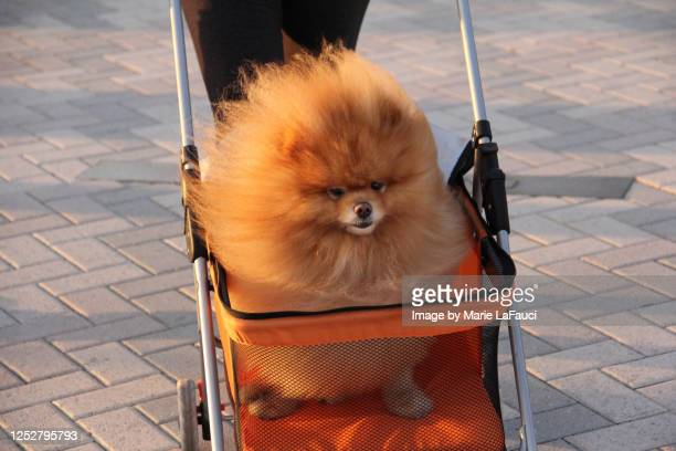 fluffy dog in a stroller - pampered pets stock pictures, royalty-free photos & images
