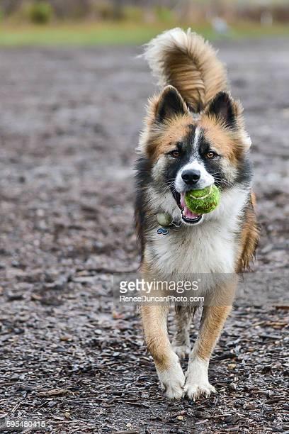 Fluffy Dog Running with Tennis Ball