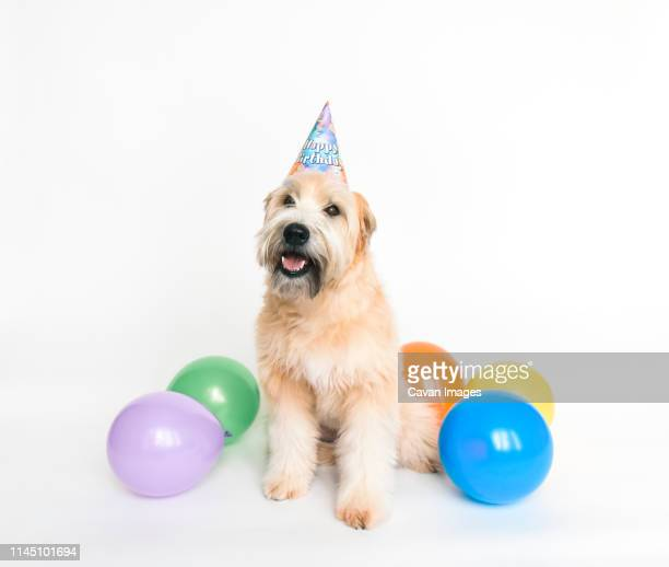 fluffy dog wearing birthday hat with balloons on white background. - pet clothing stock pictures, royalty-free photos & images