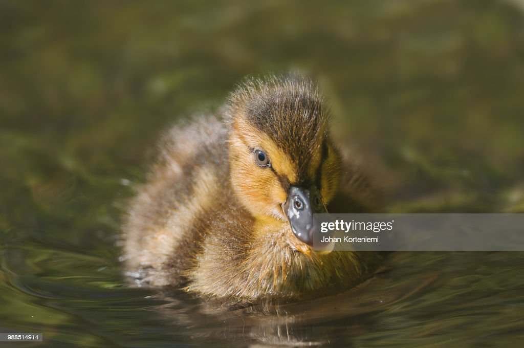 fluffy duckling stock photo getty images