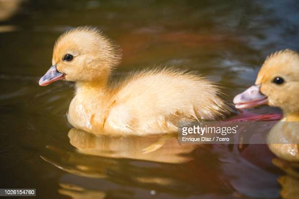 fluffy ducklings in monte dos pozos, galicia, spain - ugly duckling stock photos and pictures