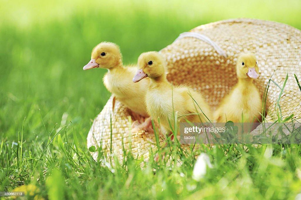fluffy ducklings
